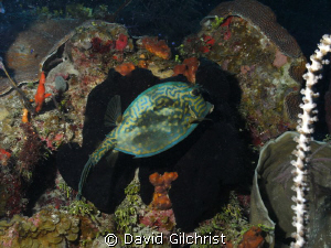 Scrawled Cowfish in a natural 'frame' by David Gilchrist 